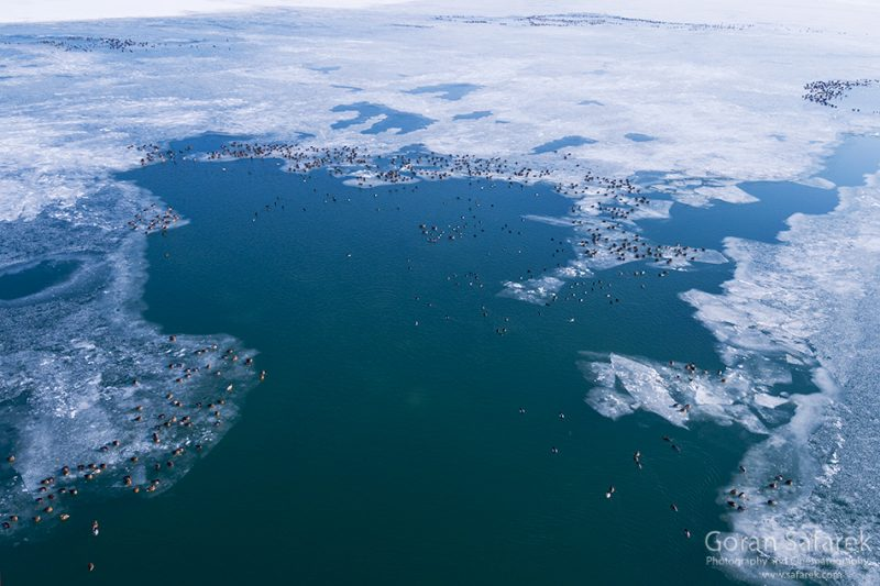 wintering, birds, rivers, ice, cold, snow, aerial,