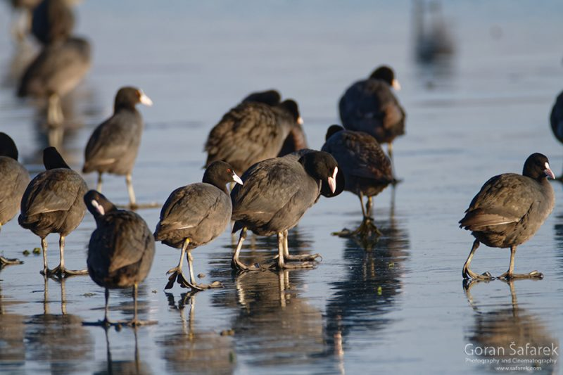 wintering, birds, rivers, ice, cold, snow, coot