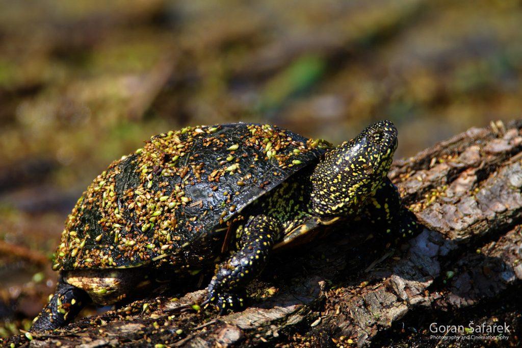 Pond turtle, Emys orbicularis
