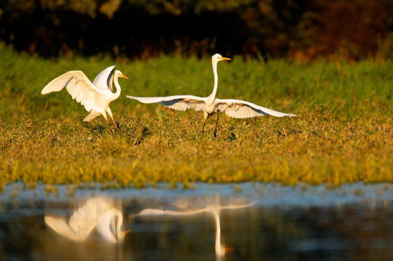egrets, ecosystem services, rivers, biodiversity