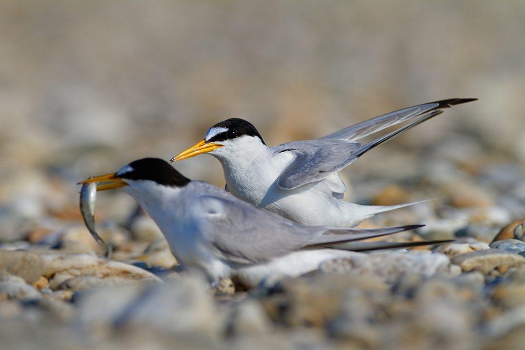 The little tern, Sternula albiforns, breeding, gravel bar, drava