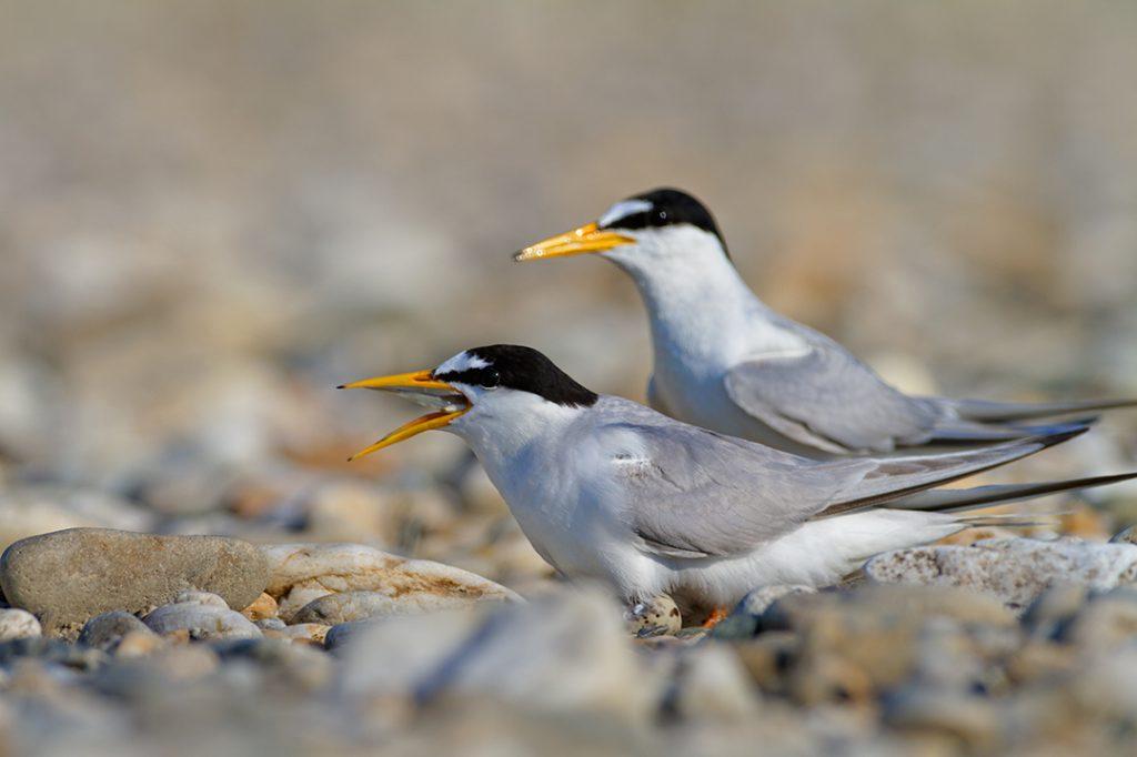 The little tern, Sternula albiforns, gravel bar, drava