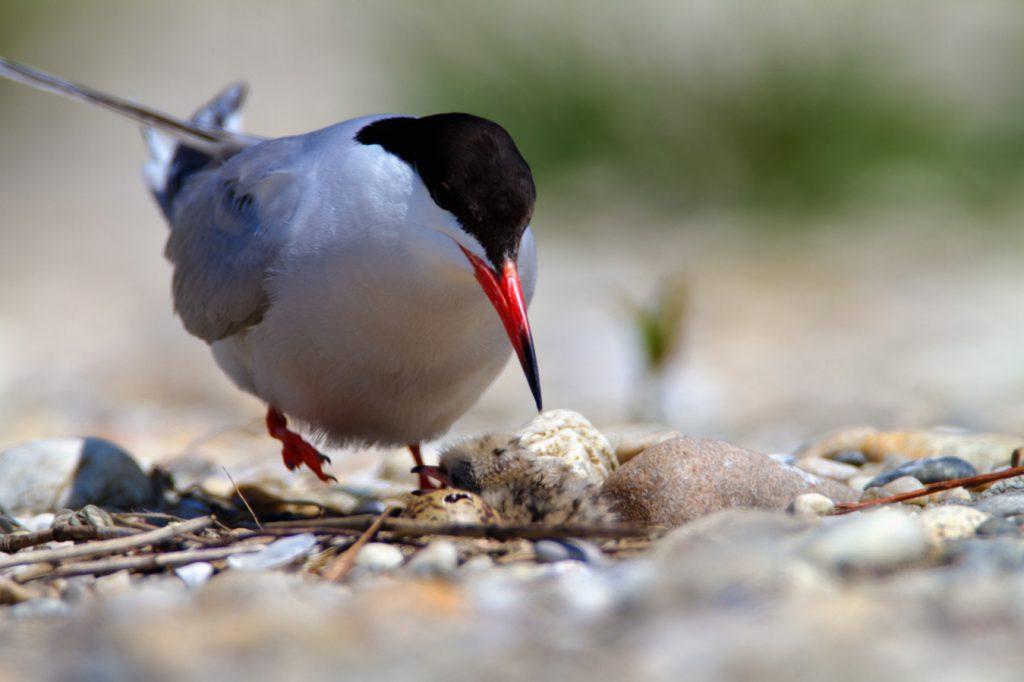 The Common Tern, Sterna hirundo