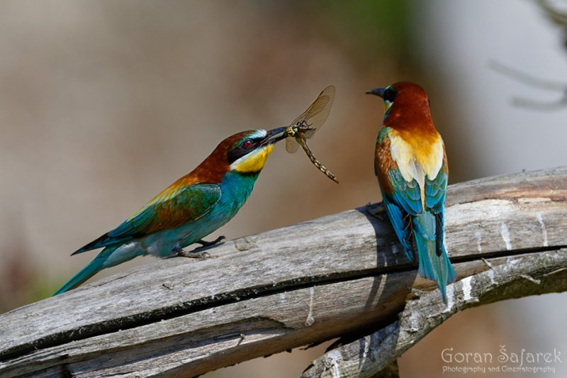 Bee-eater, Merops apisater, courtship, mating, ritual,nuptial gift, rivers, steepbank, eroded, high