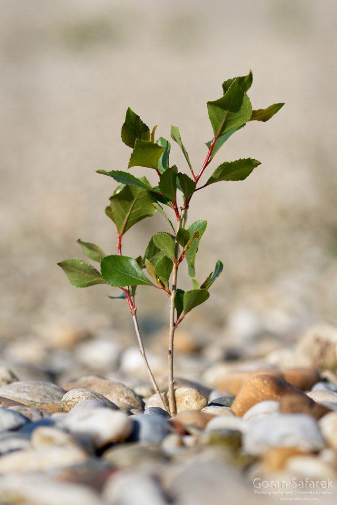 Black Poplar, Populus nigra