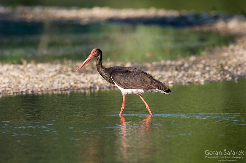 The black stork