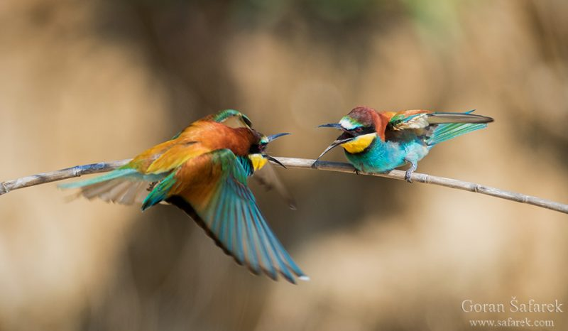 the bee-eater – the colorful bird from the steep river banks