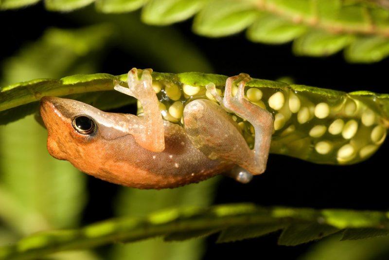 Ranomafana National Park, madagascar, Ranomena River, mountain, cloud forest, jungle, arboreal frog, call, eggs