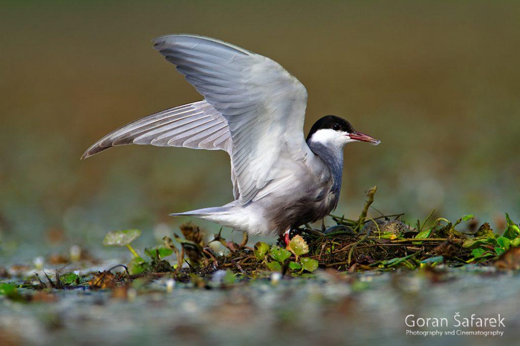 the whiskered tern, Chlidonias hybrida, birds, rivers,marsh, wetland, colony, nesting, breeding