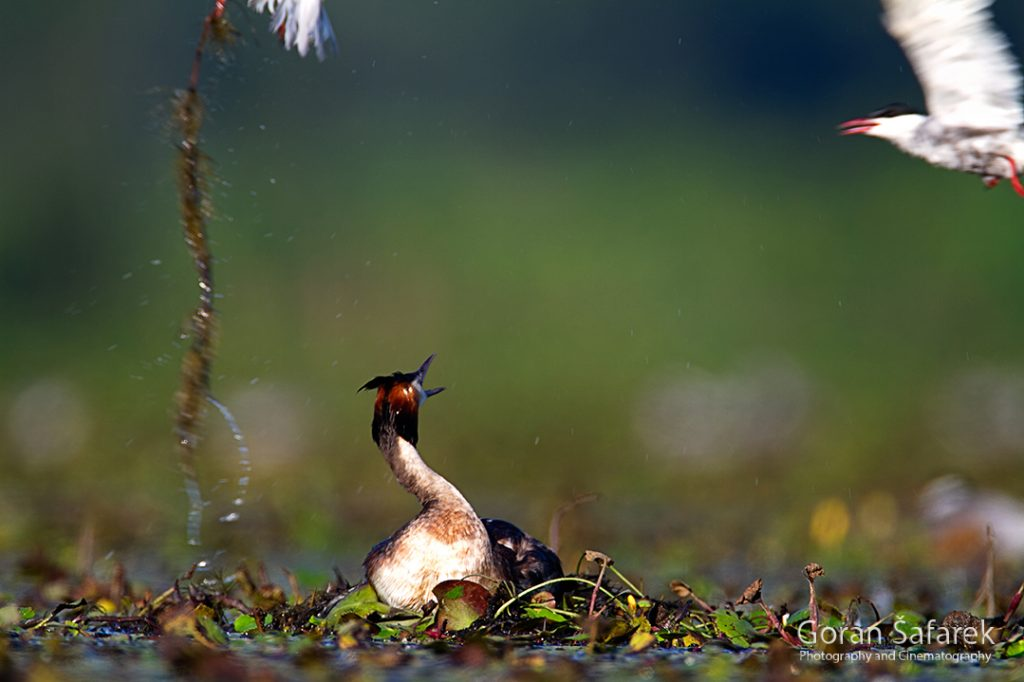 The great crested grebe, Podiceps cristatus, rivers, birds, wetland, lake