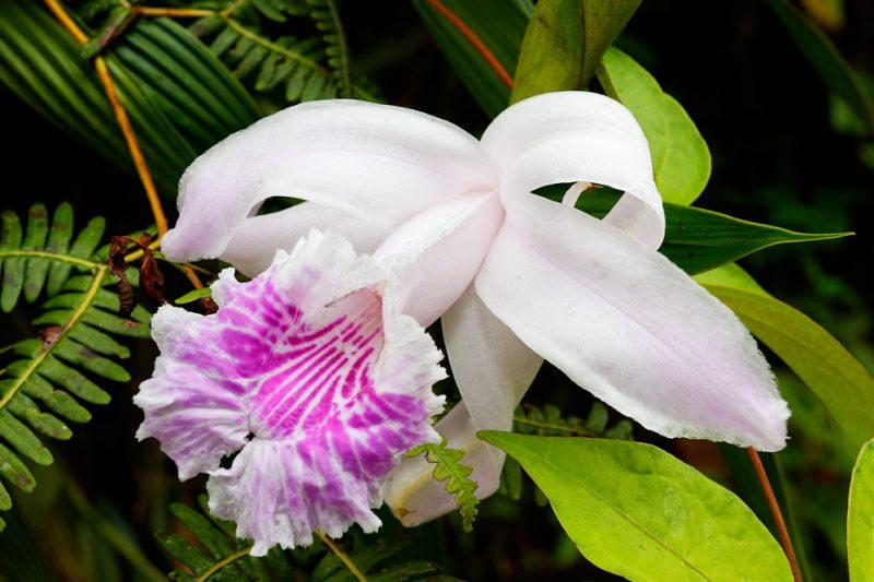 Zanja Arajuno, Andes, foothills, ecuador, rainforest, tropical, puyo, orchid