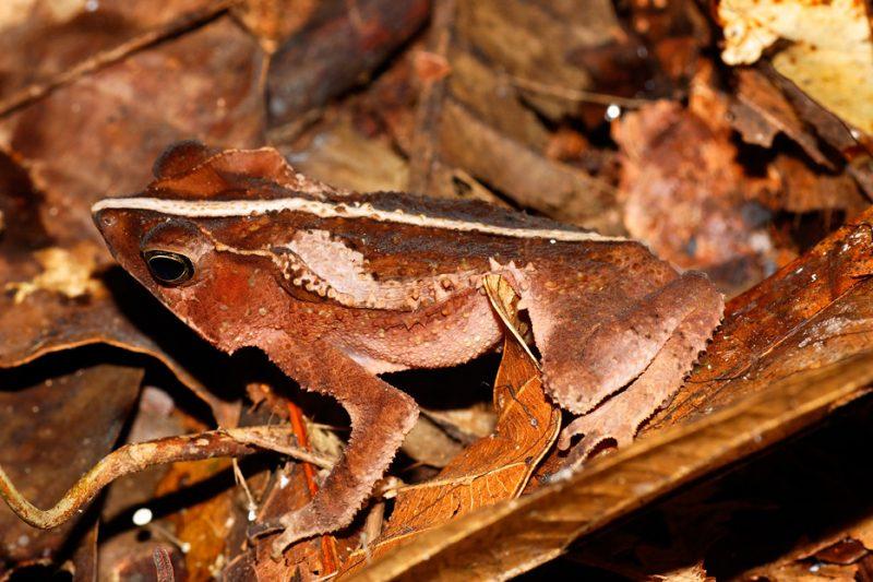 The Tiputini River, Yasuní National Park, ecuador jungle, rainforest, oriente, tropical, frog, wildlife, animals