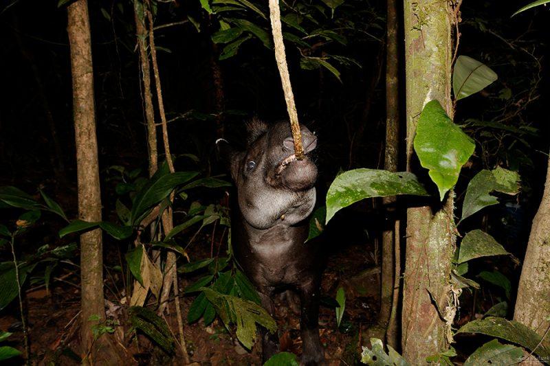 The Tiputini River, Yasuní National Park, ecuador jungle, rainforest, oriente, tropical, tapir,