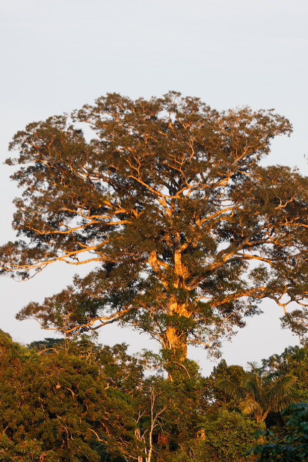 The Tiputini River, Yasuní National Park, ecuador jungle, rainforest, oriente, tropical, sunrise, tree
