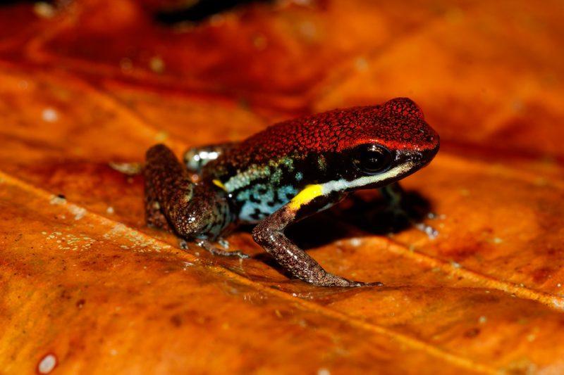 The Tiputini River, Yasuní National Park, ecuador jungle, rainforest, oriente, tropical, sunrise, frog, poisonous, Dendrobatid
