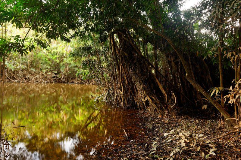 The Tiputini River, Yasuní National Park, ecuador jungle, rainforest, oriente, tropical, swamp, palm, needle, backwaters