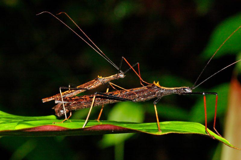 The Tiputini River, Yasuní National Park, ecuador jungle, rainforest, oriente, tropical, stick insect, mating