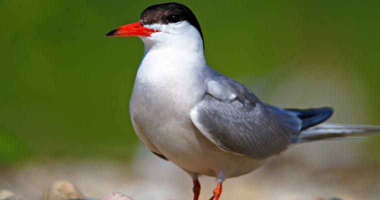 The common tern (Sterna hirundo)
