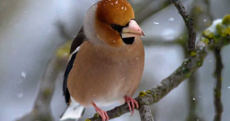 Small birds in winter