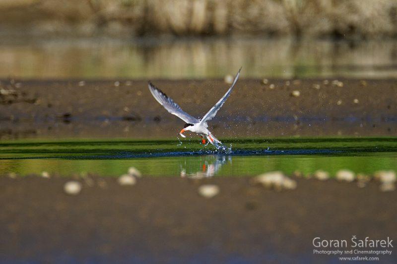 The common tern, Sterna hirundo, rivers, nesting, gravel bar