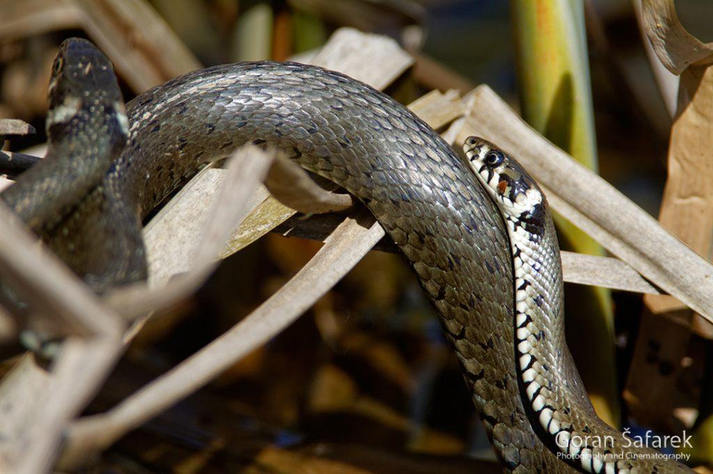 The grass snake, Natrix natrix, snakes