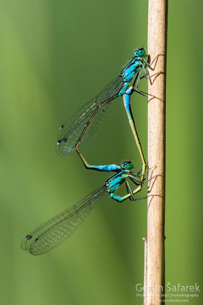 Odonata, dragonflies, damselflies