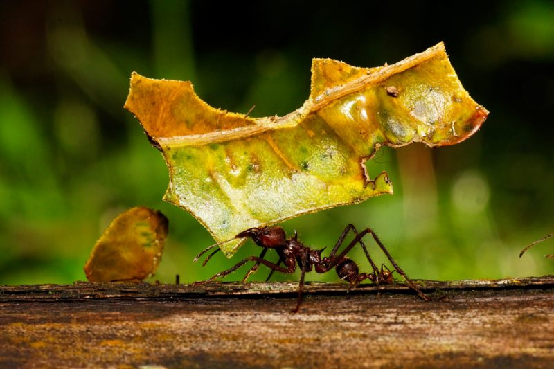 Zanja Arajuno, Andes, foothills, ecuador, rainforest, tropical, puyo, leaf cutter ant