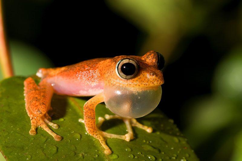 Ranomafana National Park, madagascar, Ranomena River, mountain, cloud forest, jungle, arboreal frog, call, mating