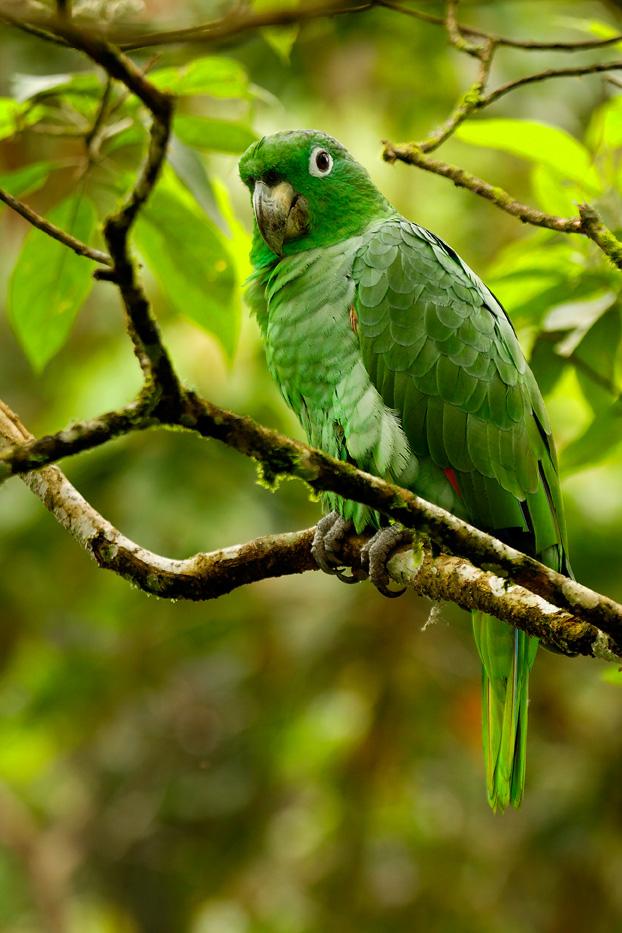 Zanja Arajuno, Andes, foothills, ecuador, rainforest, tropical, puyo, birds, parrot