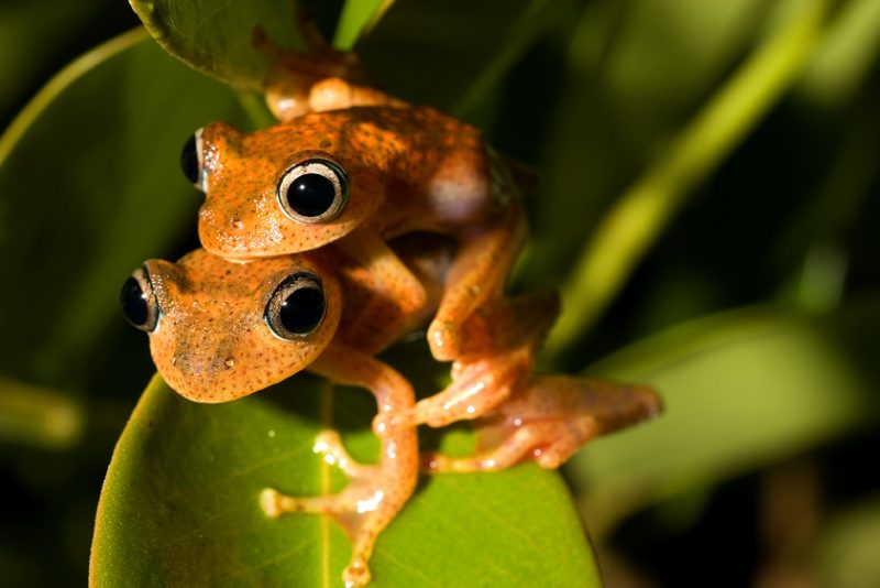 Ranomafana National Park, madagascar, Ranomena River, mountain, cloud forest, jungle, arboreal frog, mating