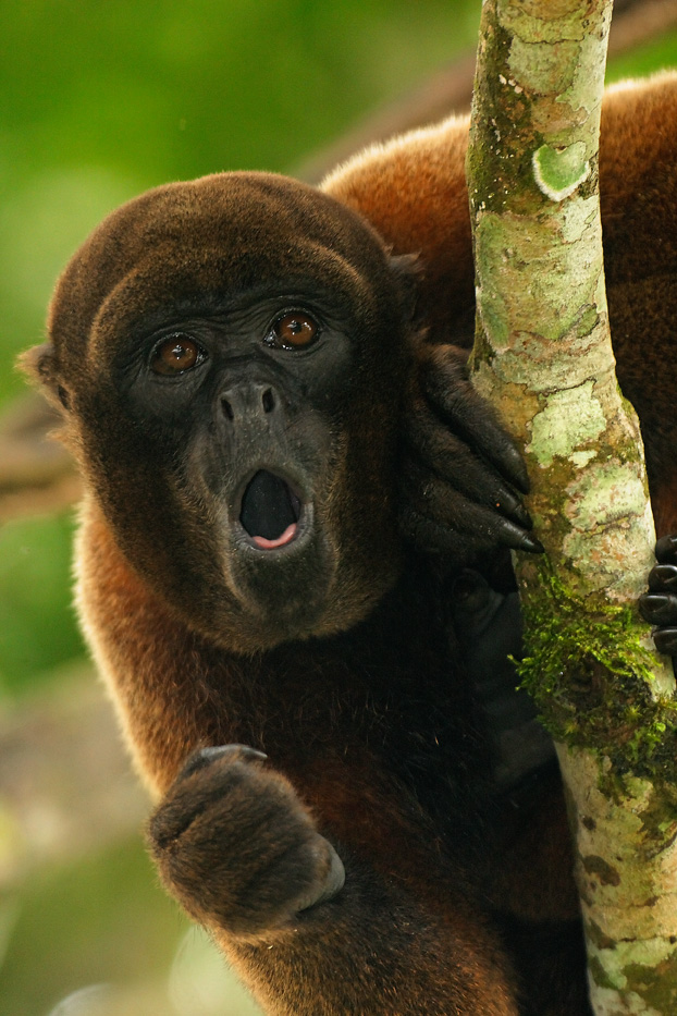Zanja Arajuno, Andes, foothills, ecuador, rainforest, tropical, puyo, wooly monkey