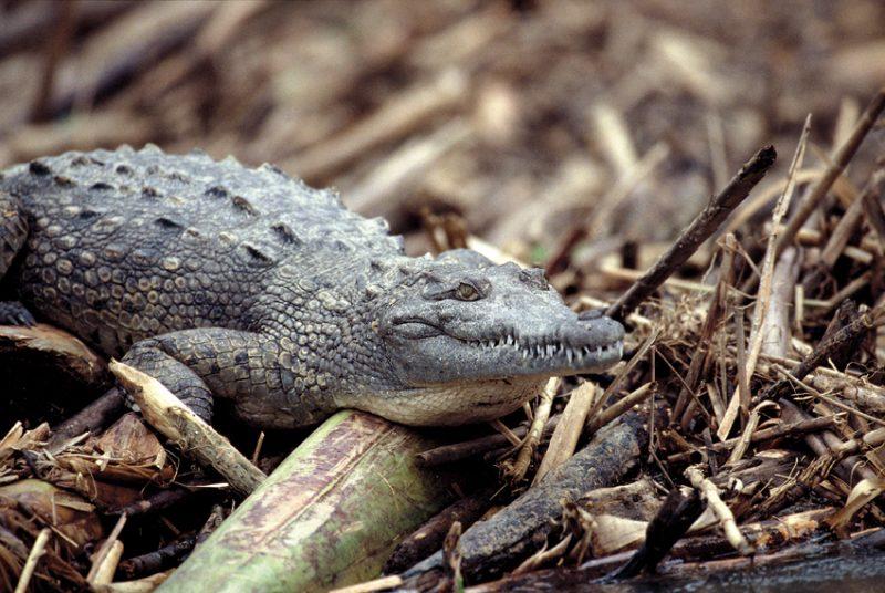 crocodile, Tortuguero , costa rica,