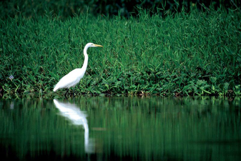 Tortuguero , costa rica, egret