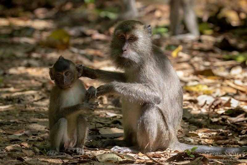 long‐tailed macaques monkeys, Khao sok, national park, asia, thailand, jungle, rainforest, tropical,