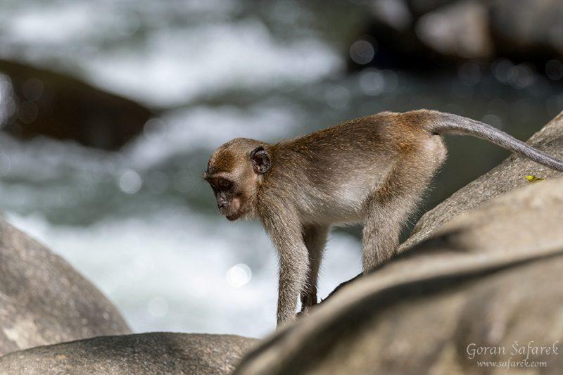 long‐tailed macaques monkeys, Khao sok, national park, asia, thailand, jungle, rainforest, tropical,rapids, river
