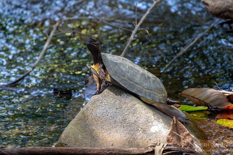 Khao sok, national park, asia, thailand, jungle, rainforest, tropical, river, tortoise, turtle