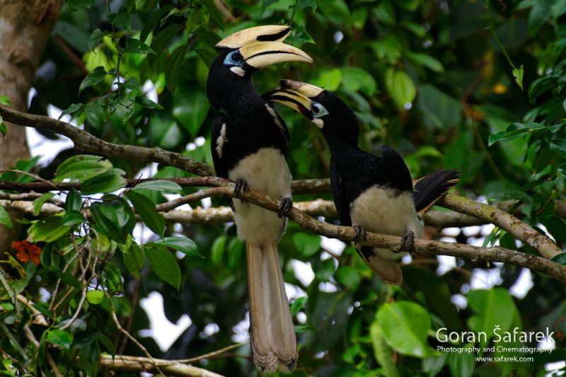 Mulu National Park, Borneo, Malaysia, rainforest, jungle, hornbill